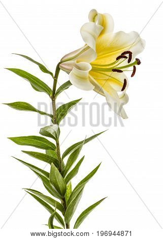 Flower Of Yellow Oriental Lily, Isolated On White Background