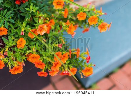 Macro Closeup Of Many Bright Orange Calibrachoa Petunia Flowers Outside On Garden Porch In Flower Po