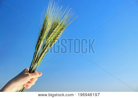 Female hand holding bunch of spikelets on blue sky background