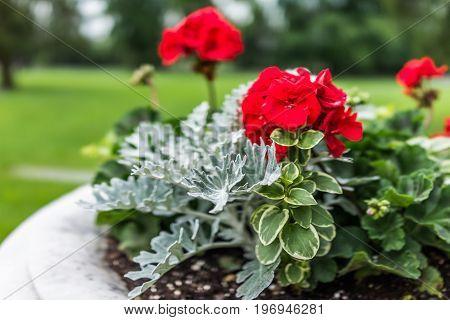 Gettysburg National Cemetery Battlefield Park With Macro Closeup Of Red Geranium Flowers In Pot
