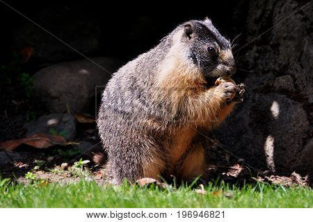 A yellow bellied Vancouver island marmot has a munch outside its burrow.