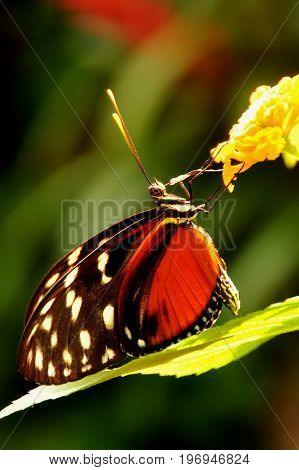 A golden Helicon butterfly,arrives in the gardens for a visit, and feeds on a nectar sandwich.