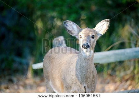 Deer in the woods in front of old wooden fence near the edge of woods and meadows during sunny day