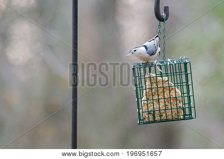 Nuthatch bird resting on a bird feeder in the fall months with a nice blurred background.