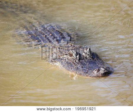 An alligator on the lurk in the swamp