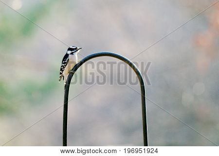 Downy Woodpecker resting on a bird feeder in the fall months.