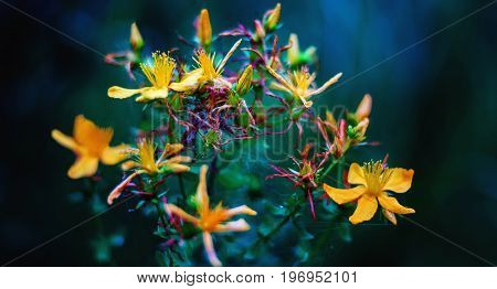 Close view of herb St Johns wort