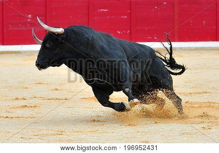 bull in spain with big honrs in bullring