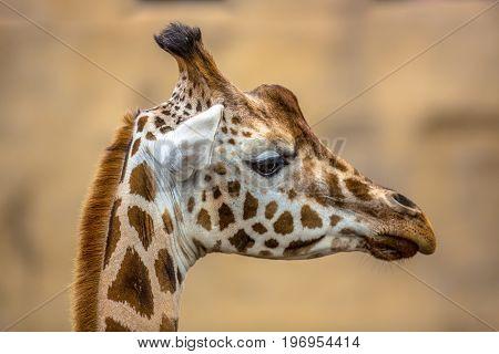 Head Profile Of Southern Giraffe