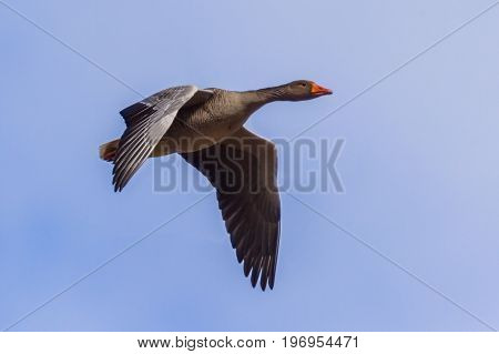 Migrating Greylag Goose Bif