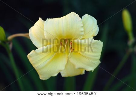 summer single flower light yellow white lily garden green and black background bloom close-up