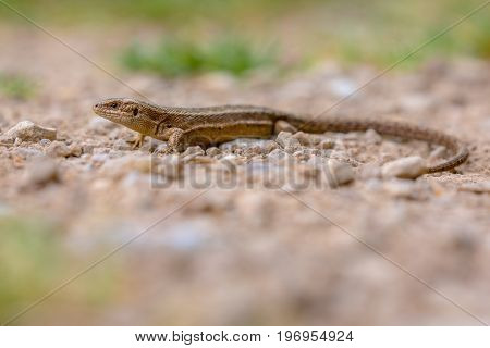 Viviparous Lizard On Gravel