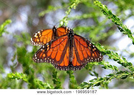 Monarch butterfly butterflies orange and black resting on a tree bush shrub in an Australian park