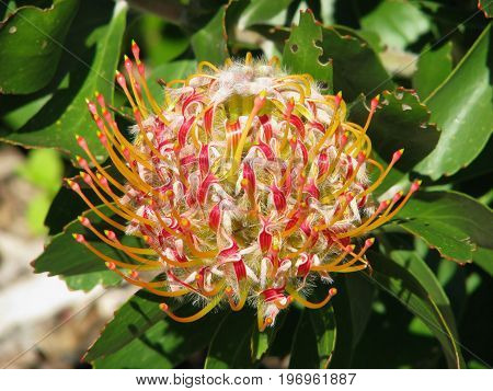A PINCUSHION PROTEA, NATIVE TO ZIMBABWE AND SOUTH AFRICA 33ms