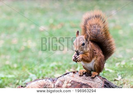 Young Red Squirrel With Fluffy Tail Sitting On Tree Stub In Forest, Eats Nut