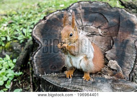 Red Squirrel With Fluffy Tail Sitting On Tree Stump And Eating Nut