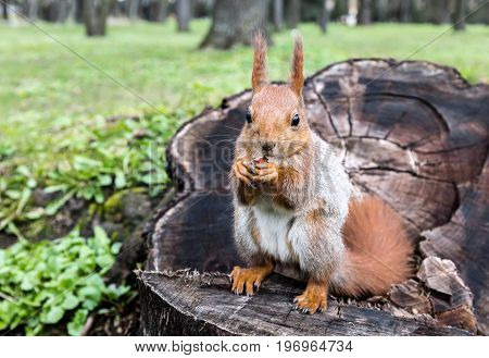 Small Red Squirrel Sitting On Stump Of Tree With Nut In Park