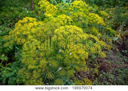 Yellow flower of dill in the garden yellow dill close up summer day.