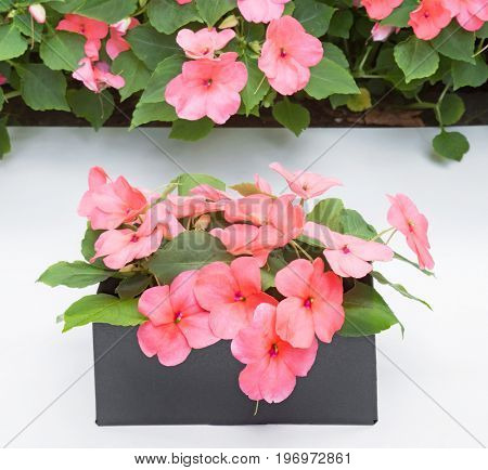 Box of Pink Impatiens