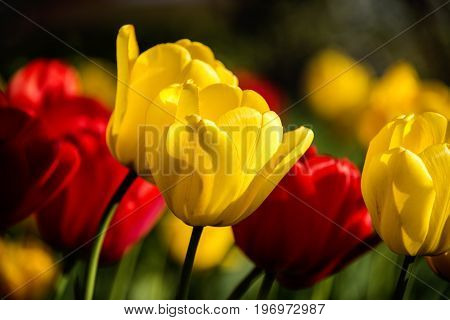 flowers, flowers tulips, flowers concept, natural flowers, red flowers, yellow flowers, flowers of the spring, red and yellow flowers with blurry background, spring flower, flowers in the vase, different flowers,