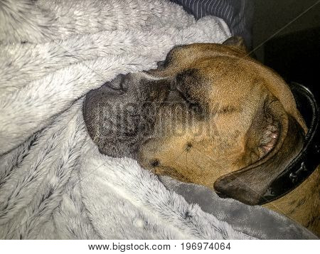 Dog Sleeping On A Grey Blanket