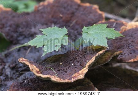 Ganoderma applanatum mushroom close up shot outdoors