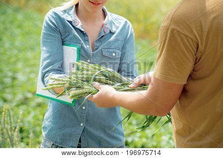 Male and female agronomist negotiating about future crop of wheat at the wheat field