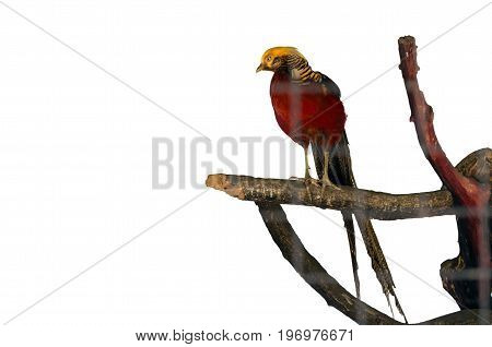golden pheasant on white backgroundisolate and bird