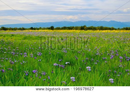A green field full of wild iris in Alaska