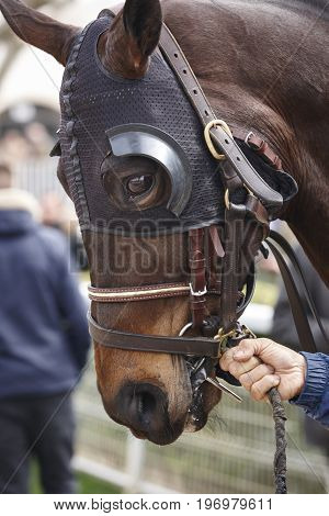 Race horse head with blinkers ready to run. Paddock area. Vertical