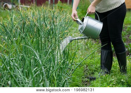 Closeup of woman's hands holding metal watering can and watering plants in the garden. Growing organic onions.. Gardener working outdoors.