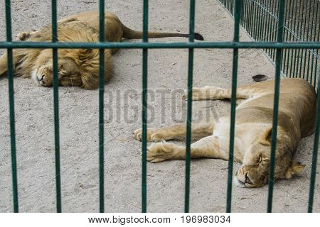 A Pair Of Lions In Captivity In A Zoo Behind Bars Sleep