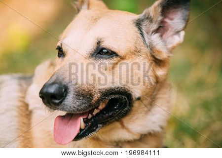 Close Up Of Medium Size Mongrel Mixed Breed Short-Haired Yellow Adult Female Dog With Tongue In Collar On Brown Background