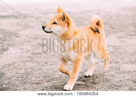 Young Japanese Small Size Shiba Inu Dog Play Outdoor At Winter Day.