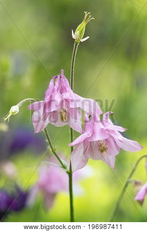 A photo of pink aquilegia flowers in a garden. Common names of aquilegia: granny's bonnet or columbine