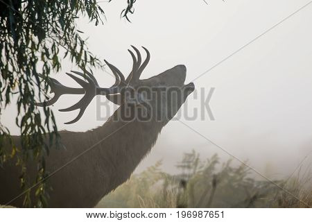 Red Deer Stag (cervus Elaphus) Bellowing Or Roaring On A Misty Morning