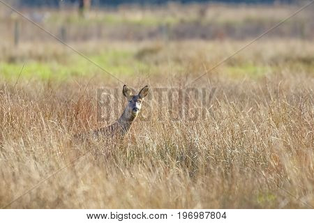 Alert Roe Deer Doe(capreolus Capreolus) In A Long Grassy Meadow.