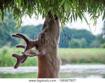 Young Red Deer Stag (cervus Elaphus) In Velvet Antlers, Browsing On Willow Leaves  In Summer