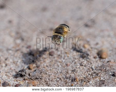Little Flower Bee - Anthophora Bimaculata Flying Low On Sandy Heathland