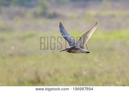 Eurasian Curlew (numenius Arquata) Flying, In Flight Low Across Sunny Heathland In Sunshine
