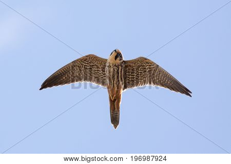 Close-up Of Adult Eurasian Hobby Falcon (falco Subbuteo) Flying, In Flight Overhead, Showing Undersi