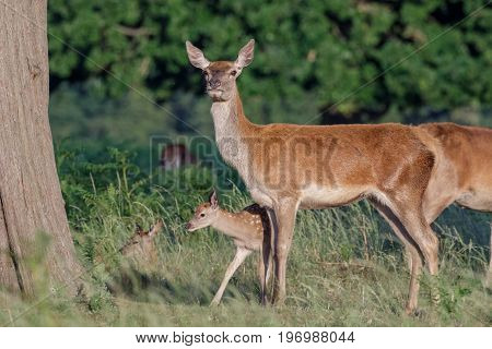 Red Deer (cervus Elaphus) Female Hind Mother And Young Baby Calf Sticking Close