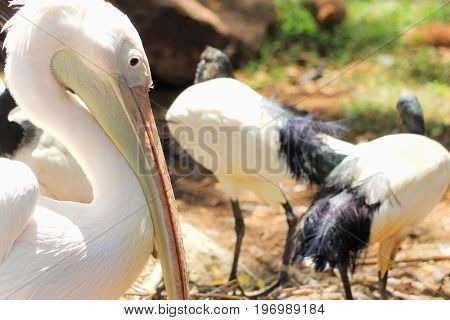 Great white pelican (Pelecanus onocrotalus) also known as the eastern white pelican rosy pelican or white pelican