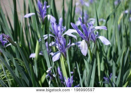 Pale Violet Blue Sepals Of Iris Flower With White Veining