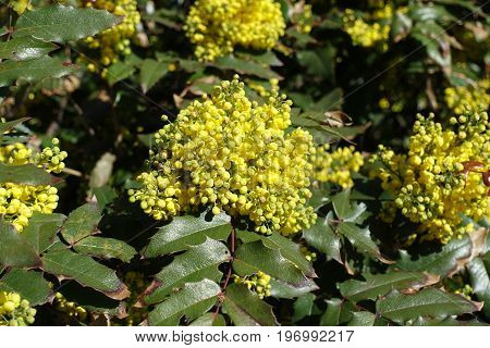 Florescence Of Holly Leaved Mahonia In Spring