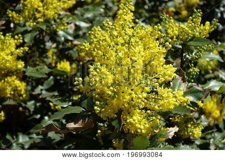 Raceme Of Bright Yellow Flowers Of Holly Grape