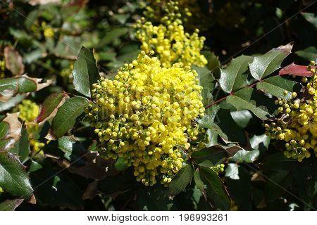 Striking Foliage And Flowers Of Berberis Aquifolium