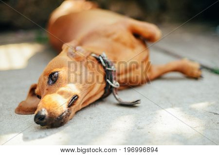 Dachshund Dog In Outdoor. Beautiful Dachshund Sitting In The Wooden Bench. Standard Smooth-haired Da