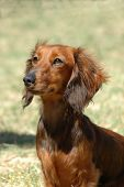 A beautiful little brown long haired miniature Dachshund dog head portrait with cute expression in the face watching other dogs in the park outdoors poster