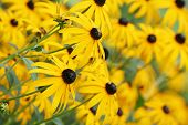 Field of beautiful yellow coneflowers echinacea paradoxa. poster